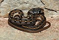 Buff-striped Keelback Amphiesma stolatum by Dr Raju Kasambe DSCN0502 (7).jpg
