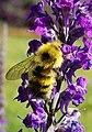 Bumblebee on Linnaria.jpg