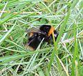 Bumblebee queen (Bombus terrestris), Sandy, Bedfordshire (8652286095).jpg