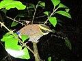Burung Paok Pancawarna, Cibunar, Taman Nasional Ujung Kulon, 29062012.jpg