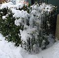 Bush covered in ice and snow with houses in background.JPG