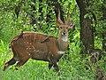 Bushbuck (Tragelaphus scriptus) (6045311945).jpg