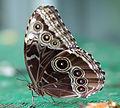 Butterfly Blue Morpho just emerged (2764936097).jpg
