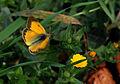 Butterfly Colias croceus - Sarı Azamet 02.jpg