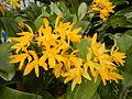 C.Aurantiaca Goldenjf9250 07.JPG