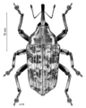 COLE Curculionidae Rhynchodes ursus.png