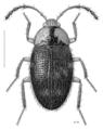 COLE Leiodidae Zeagyrtes antennalis.png