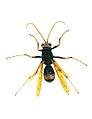 CSIRO ScienceImage 2285 A Female Spider Wasp.jpg