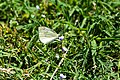 Cabbage white (29268936598).jpg