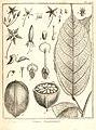 Cacao guianensis Aublet 1775 pl 275.jpg