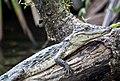 Caiman crocodilus -1-4 - Flickr - Ragnhild & Neil Crawford.jpg