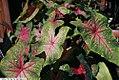 Caladium bicolor Red Flash 3zz.jpg