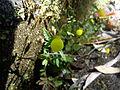 CalceolariaMexicana-FlowerInOoty.jpg