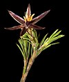 Calectasia grandiflora subsp. Wheatbelt - Flickr - Kevin Thiele.jpg