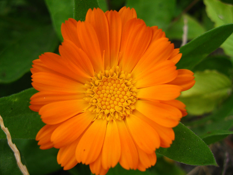 Calendula Officinalis Marigold For Dogs Ears
