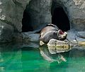 California Sea Lion Zalophus californianus at Bronx Zoo 1.jpg