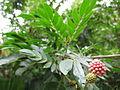 Calliandra Haematocephala - വാക 04.JPG