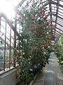 Callistemon citrinus var. splendens 'Crimson bottlebrush' (Myrtaceae) plant.jpg