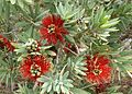 Callistemon little john.jpg