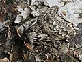 Calliteara abietis ♂ - Шерстолапка еловая (самец) (28120476037).jpg