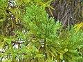 Callitris macleayana 2.jpg