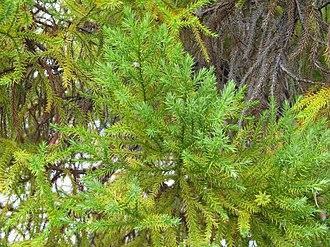 Callitris macleayana - Image: Callitris macleayana 2