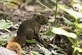 Callosciurus erythraeus thaiwanensis (30686051821).jpg