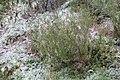 Calluna vulgaris 108500153.jpg