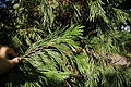 Calocedrus decurrens foliage PAN.JPG
