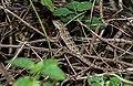 Calotes versicolor, Sri Lanka 03 (js).jpg