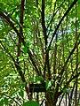 Calycanthaceae Chimonanthus Praecox in Madrid.jpg