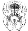 Cambridge Natural History Mammalia Fig 077.png