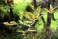 Camellia sasanqua 'Setsugekka' in Auckland Botanic Gardens 02.jpg