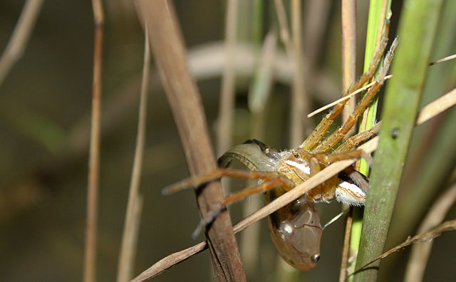 Fishing Spider Habitat And Care That Reptile Blog