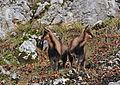 Camoscetti allo specchio - Monte Amaro - Foto Angelina Iannarelli.jpg