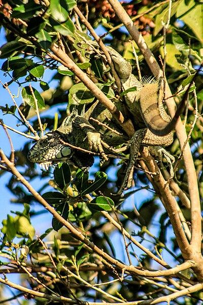 File:Camouflage of an iguana at the Parque Nacional do Pantanal Matogrossense.jpg