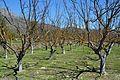Camp amb arbres prop de l'albufera de Gaianes, el Comtat.JPG