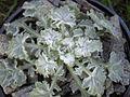 Campanula topaliana ssp delphica.JPG