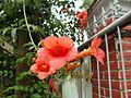 Campsis grandiflora 06.JPG