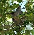 Campylorhynchus brunneicapillus, Arizona P1020614.jpg