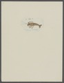 Cancer pulchillus - - Print - Iconographia Zoologica - Special Collections University of Amsterdam - UBAINV0274 097 10 0007.tif