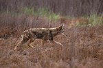 Canis latrans walking.jpg