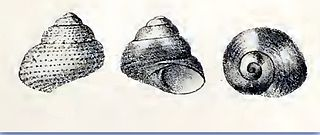 <i>Cantharidella</i> genus of molluscs