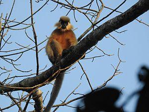 Capped langur - Capped Langur at Pakke Tiger Reserve, India