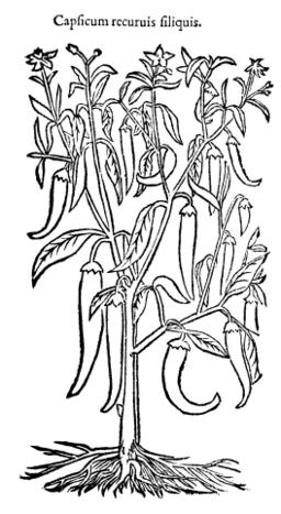 Capsicum recurvis siliquis 704 Dodoens 1583