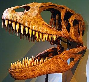 Carcharodontosauridae - Cast of a Carcharodontosaurus saharicus skull, Santa Barbara