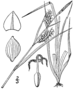 Carex meadii drawing 1.png