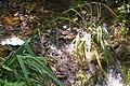 Carex pendula plant (18).jpg