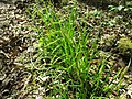 Carex sylvatica plant (4).jpg