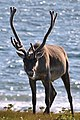 Caribou (Rangifer tarandus) - Port au Choix, Newfoundland 2019-08-19 (12).jpg